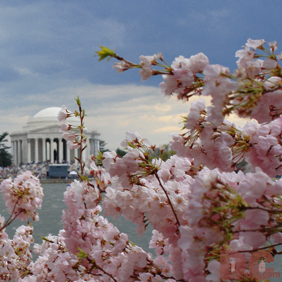 Cherry Blossom View of the Jefferson Memorial