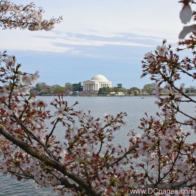 Jefferson Memorial Cherry Blossoms Photograph
