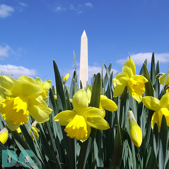 Limited Floral Print : Washington Monument in Early Spring