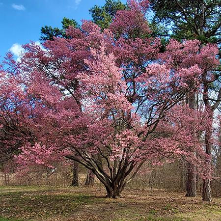 Official Japanese Okame Cherry Blossom Tree
