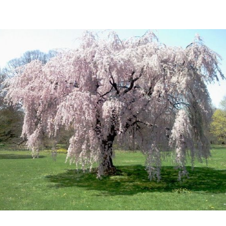 Live Weeping Japanese Cherry Blossom Tree Seedling