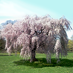 Live Weeping Japanese Cherry BlossomTree Seedling