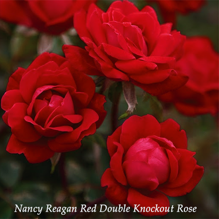 Nancy Reagan Red Double Knockout Rose