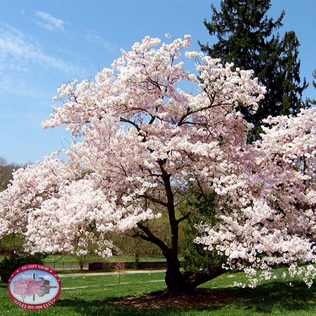 Yoshino Cherry Blossom Tree - Live
